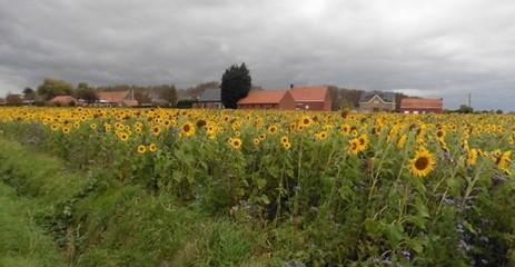 een veld bloeiende zonnebloemen