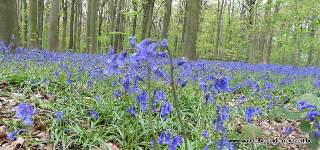 boshyacinten in het Bois de La Houssière