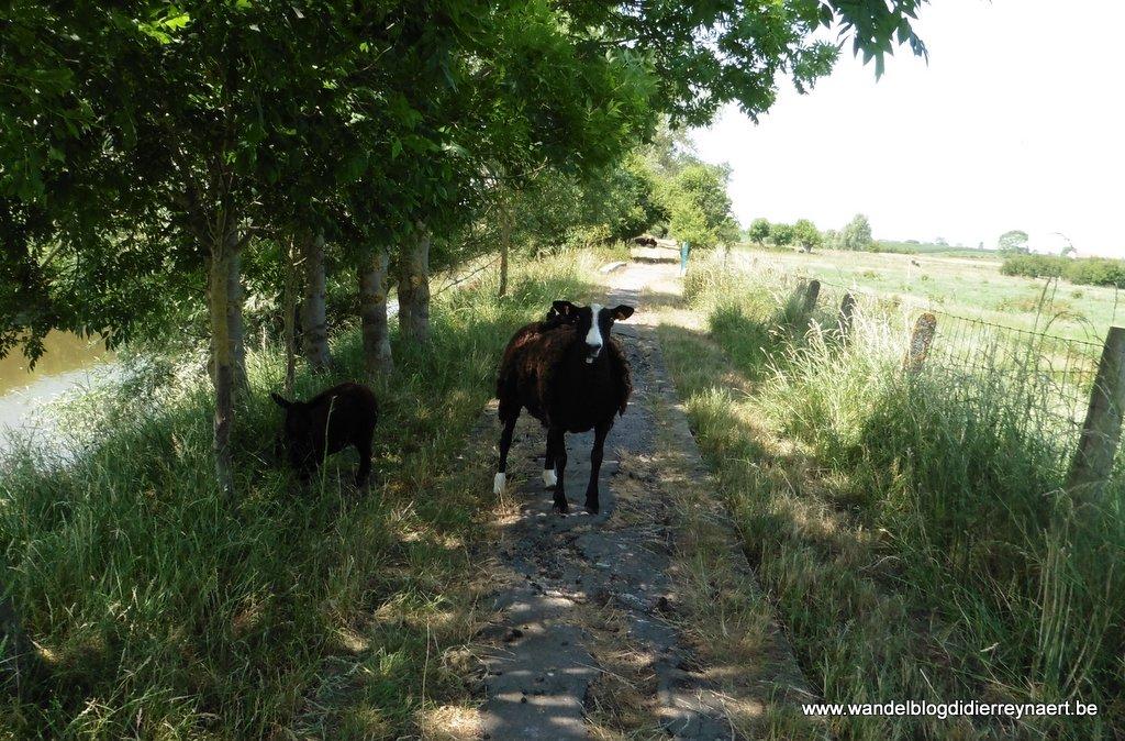 schapen langs de Ijzer