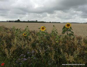 Zonnebloemen nabij Hazegraspolder
