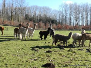 Alpaca's in Eco Snooze